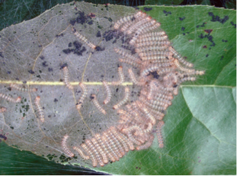 Fall Webworms on broadleaf plant